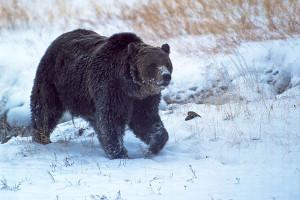945130_1_bear_standard