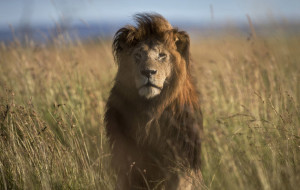 FILE - In this file photo taken Tuesday, July 7, 2015, an old male lion raises his head above the long grass in the early morning, in the savannah of the Maasai Mara, south-western Kenya.  Conservationists warn that the increased use of lion bones to replace tiger bones in traditional medicines in parts of Asia is seen as a new potential threat to Africa's wild lion population. (AP Photo/Ben Curtis, File)